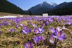 Açafrões no vale de Chocholowska, montanhas de Tatra, Polônia Fotos de Stock Royalty Free