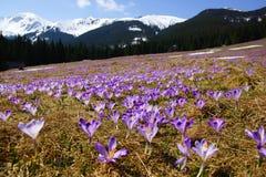 Açafrões no vale de Chocholowska, montanhas de Tatra, Polônia Imagem de Stock Royalty Free