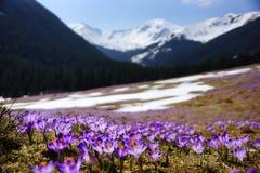 Açafrões no vale de Chocholowska, montanhas de Tatra, Polônia Foto de Stock
