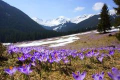 Açafrões no vale de Chocholowska, montanhas de Tatra, Polônia Imagem de Stock