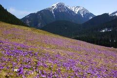 Açafrões no vale de Chocholowska, montanhas de Tatra, Polônia Fotos de Stock