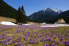 Açafrões no vale de Chocholowska, montanhas de Tatra, Polônia Fotografia de Stock