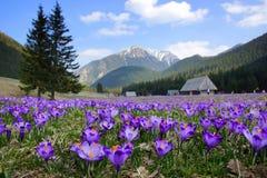 Açafrões no vale de Chocholowska, montanhas de Tatra, Polônia Fotografia de Stock Royalty Free