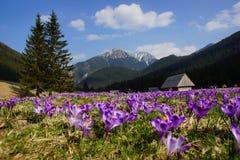 Açafrões no vale de Chocholowska, montanhas de Tatra, Polônia Imagens de Stock