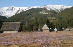 Açafrões no vale de Chocholowska, montanhas de Tatra, Polônia Foto de Stock Royalty Free