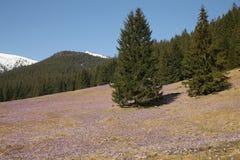 Açafrões no vale de Chocholowska, montanhas de Tatra, Polônia Imagens de Stock Royalty Free