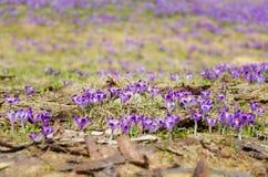 Açafrões no vale de Chocholowska - Zakopane, Polônia Foto de Stock Royalty Free