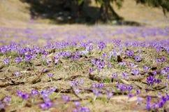 Açafrões no vale de Chocholowska - Zakopane, Polônia Fotografia de Stock Royalty Free