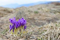 Açafrões nos Carpathians ucranianos Fotografia de Stock