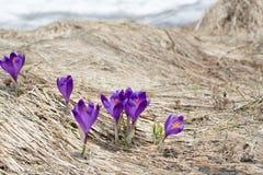 Açafrões nos Carpathians ucranianos Imagens de Stock Royalty Free