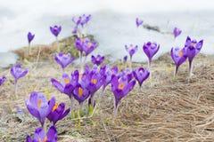 Açafrões nos Carpathians ucranianos Fotos de Stock