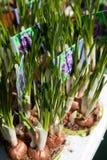 Açafrões Potted Foto de Stock Royalty Free