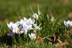 Açafrões - primeiras flores da mola Imagens de Stock Royalty Free