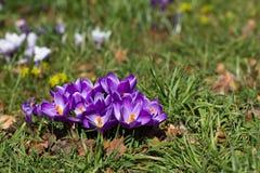 Açafrões - primeiras flores da mola Fotos de Stock Royalty Free