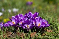Açafrões - primeiras flores da mola Fotografia de Stock