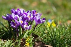 Açafrões - primeiras flores da mola Foto de Stock