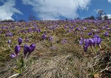 Açafrões, primeiras flores da primavera Fotografia de Stock Royalty Free
