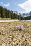Açafrões que florescem em um esclarecimento no vale Tatra no Polônia Fotografia de Stock Royalty Free