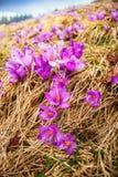 Açafrões que florescem em um vale da montanha Imagem de Stock Royalty Free