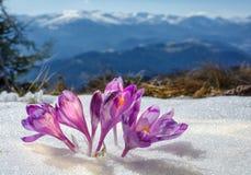 Açafrões que florescem em um vale da montanha e em umas montanhas cobertos de neve Fotos de Stock Royalty Free