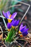 Açafrões que florescem na mola Fotos de Stock Royalty Free
