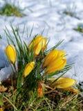 Açafrões que florescem na neve Fotos de Stock Royalty Free