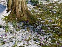 Açafrões que florescem na neve Fotografia de Stock