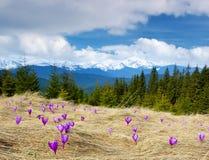 Açafrões que florescem nas montanhas Imagem de Stock Royalty Free