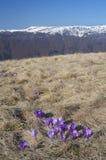 Açafrões que florescem nas montanhas Fotografia de Stock