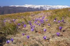 Açafrões que florescem nas montanhas Fotos de Stock