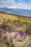 Açafrões que florescem nas montanhas Imagens de Stock