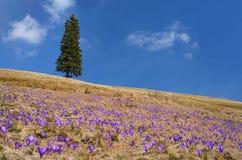 Açafrões que florescem no prado Fotografia de Stock Royalty Free
