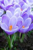 Açafrões roxos Foto de Stock Royalty Free