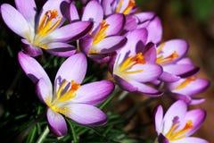 Açafrões roxos Imagens de Stock Royalty Free