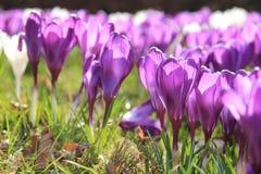 Açafrões roxos Fotos de Stock