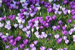 Açafrões roxos Imagem de Stock