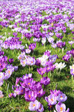 Açafrões roxos Foto de Stock