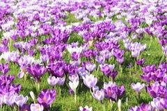 Açafrões roxos Fotografia de Stock Royalty Free