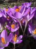 Açafrões roxos Imagens de Stock