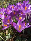 Açafrões roxos Fotografia de Stock