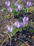Açafrões roxos (açafrão sativus) Imagens de Stock Royalty Free