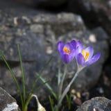 Açafrões roxos (açafrão sativus) Fotografia de Stock