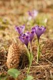 Açafrões roxos. Açafrões violetas. Imagens de Stock
