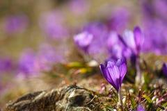 Açafrões roxos bonitos em um prado Imagem de Stock
