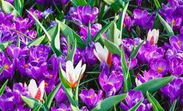 Açafrões roxos da mola e tulipas brancas (macro) Imagem de Stock Royalty Free