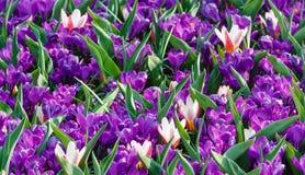 Açafrões roxos da mola e tulipas brancas (macro) Foto de Stock