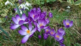 Açafrões roxos da mola que florescem a florescência Fotografia de Stock