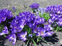 Açafrões roxos de florescência Foto de Stock Royalty Free