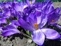 Açafrões roxos de florescência Fotos de Stock