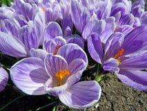 Açafrões roxos de florescência Imagem de Stock Royalty Free